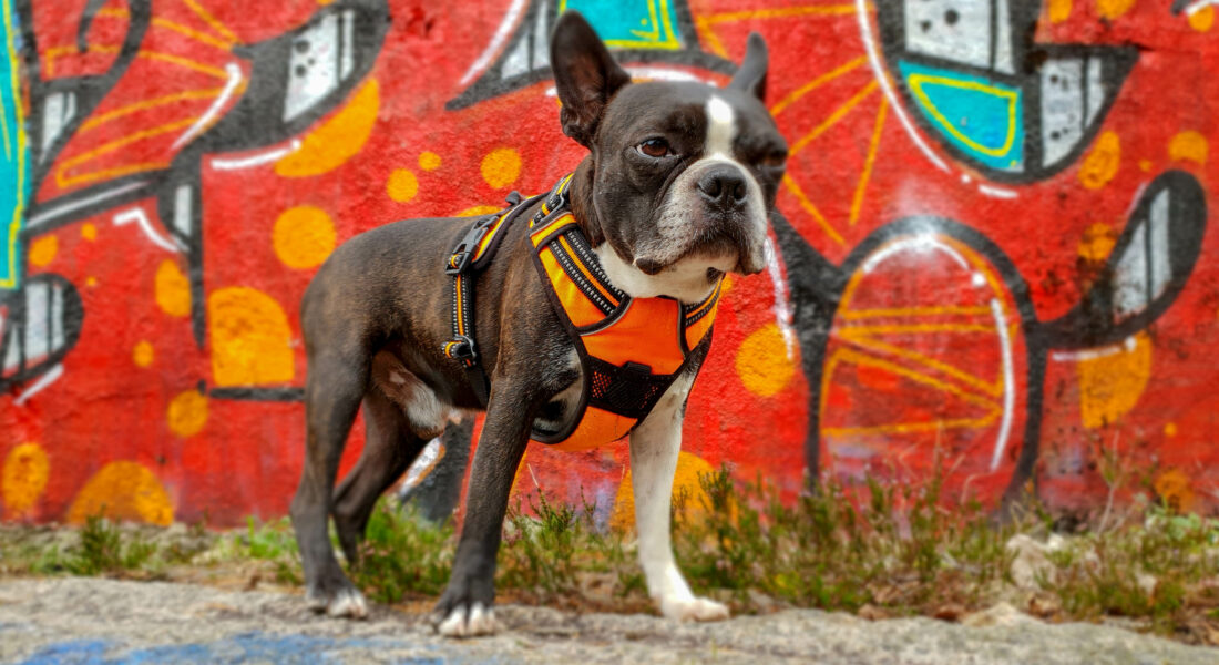 A Boston Terrier Dog In Front Of A Graffiti Wall.